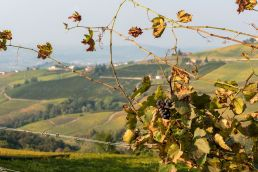 vigne di barbaresco